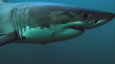 Great White Shark - Migrations
