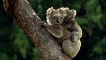 Koala - Motherhood