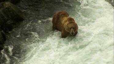 Kodiak Bear - Nutrition