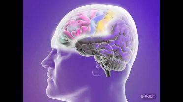 Brain - Functional Regions
