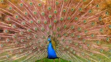 Peacock - Mating Ritual