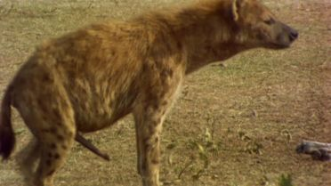 Spotted Hyena - Female Genitalia