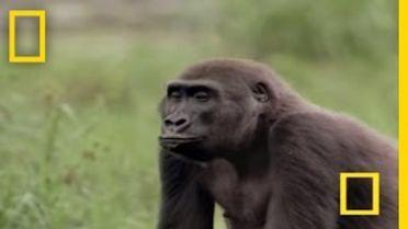 Gorilla - Territory