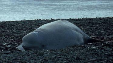 Beluga Whale - Infancy