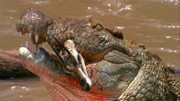 Nile Crocodile - Hunting Technique