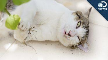 Catnip - Effect on Cats