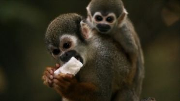 Squirrel Monkey - Territory