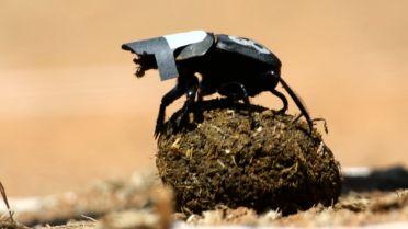 Dung Beetle - Navigation