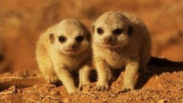 Meerkat - Infancy