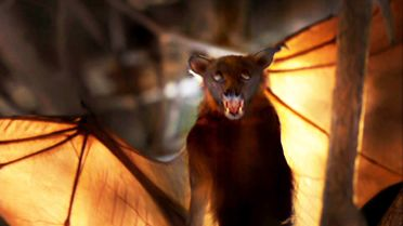 Little Red Flying Fox