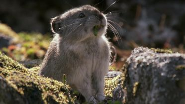 Collared Pika - Preparation for Winter