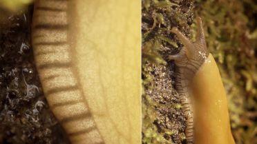 Banana Slug - Slime