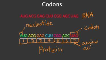 Genetics - Codons