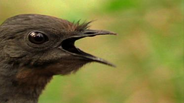 Lyrebird - Vocal Mimicry