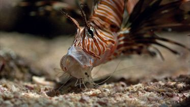 Lionfish - Hunting Technique