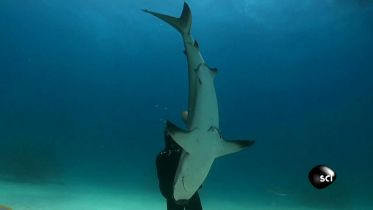 Shark - Tonic Immobility
