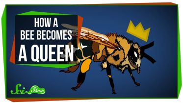 Honey Bee - Queen Bee