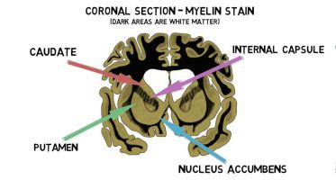 Brain - Striatum