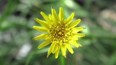 Tragopogon - Polyploidy