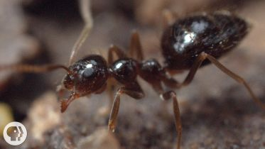 Argentine Ant - Distribution