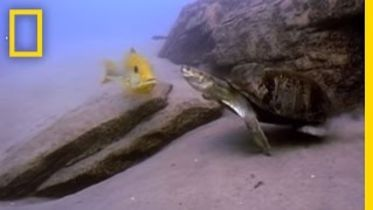 Terrapin Turtle - Hunting Fish Eggs