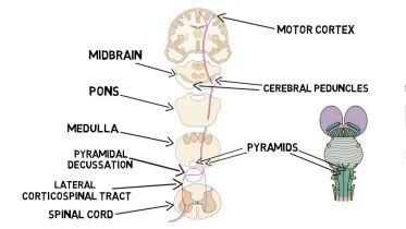 Brain - Corticospinal Tract