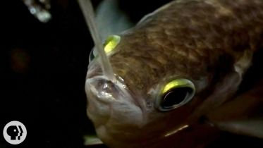 Archerfish - Capture of Prey