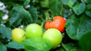 Introduction of Tomatoes to European Diet