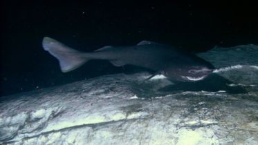 Hagfish - Hunting