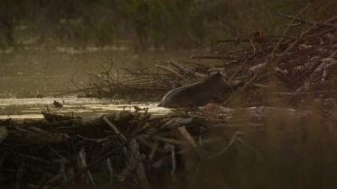Beaver - Survival in Extreme Climate