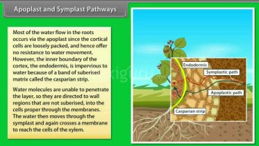 Plants - Apoplastic & Symplastic Pathways