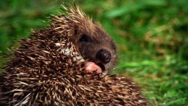 Hedgehog - Poisons