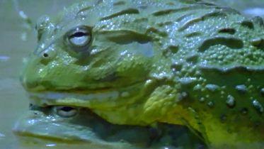 African Bullfrog - Mating Ritual