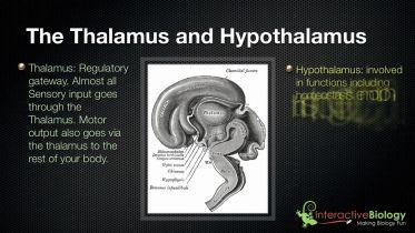 Brain - Thalamus and Hypothalamus