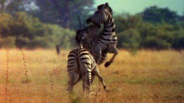 Zebra - Male Aggressive Behaviour