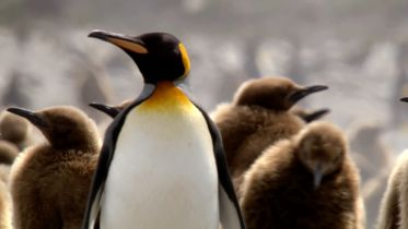 King Penguin - Parenthood