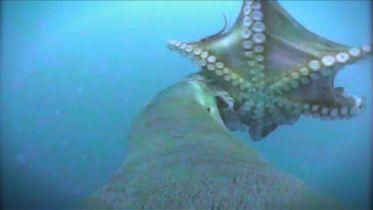 Australian Sea Lion - Hunting Octopus