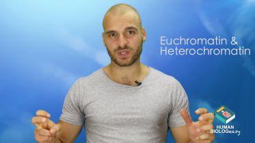 DNA - Euchromatin and Heterochromatin