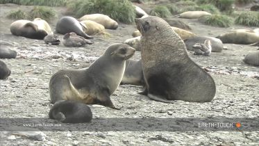 Fur Seal - Mating Ritual