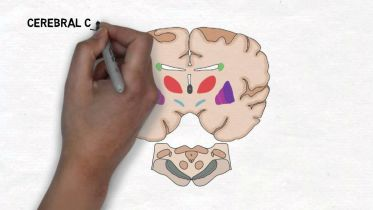 Brain - Basal Ganglia
