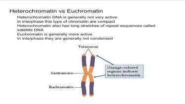DNA Structure - Heterochromatin V. Euchromatin