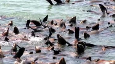 Pier 39 - Sea Lion Migation (San Fracncisco)
