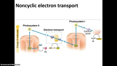 Photosynthesis - Noncyclic Electron Transport