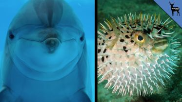 Dolphin - Experimenting with Pufferfish Toxin