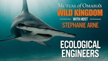 Shark - Ecosystem Engineer