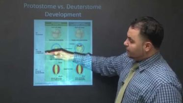 Protostome V. Deuterstome Development