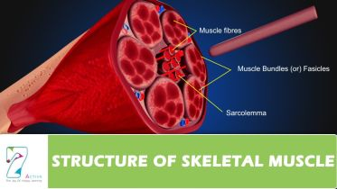 Musculoskeletal System - Structure of Skeletal Muscle