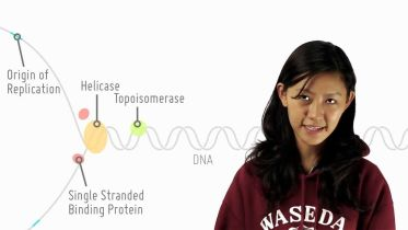 DNA Replication - Replication Process