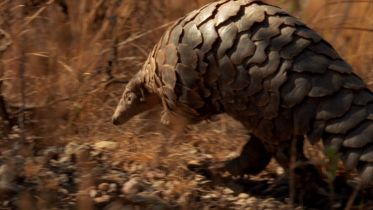 Pangolin - Hunting Technique