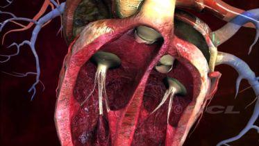 Heart - Anatomy